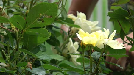 Pruning yellow roses with shears
