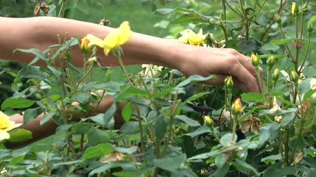Close up of hands pruning yellow roses with shears