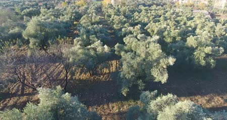 olijven : Aerial Olive Trees Stockvideo