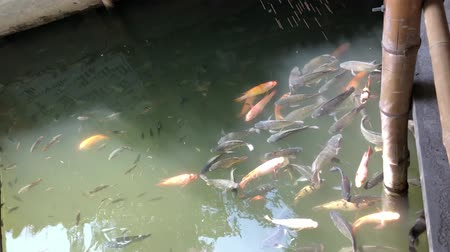 Tilapia swimming in the pond