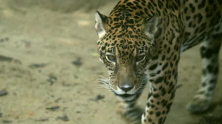 pardus predator : leopard walk to camera