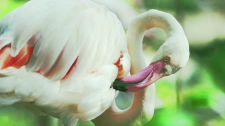 chilean flamingo : Chilean Flamingo