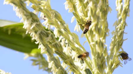 warzywa : Honey bee worker collecting pollen from flower of corn amidst the wind.
