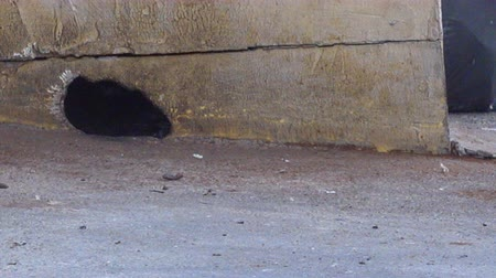 delikleri : Rat going through holes in the wall to find food. Stok Video