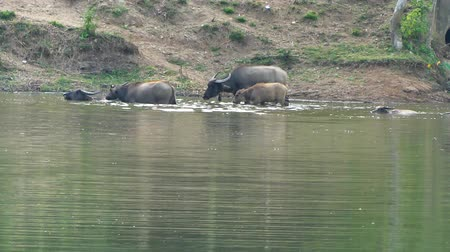 majorság : Water Buffalo wading and cooling down in the pond on countryside farmland. Stock mozgókép