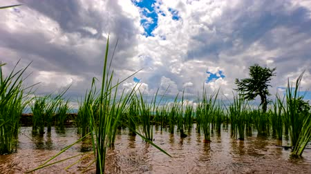 zöld levél : Time lapse, Clouds moving over the rice fields reflected in the water at Pa Bong Piang village Chiang mai, thailand.