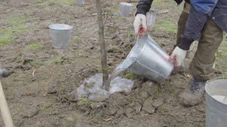 росток : Planting a young tree in the park. Watering the seedling and digging a new pit.