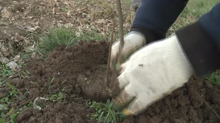 sazenice : Planting the seedlings in the hole and burrowing the ground.