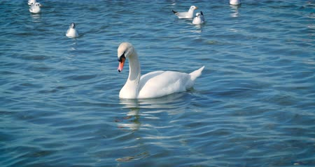 Beautiful white swans swim in the sea. Stockvideo