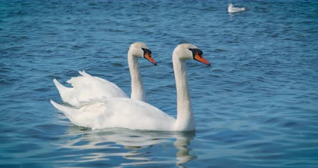 swan silhouette : Beautiful white swans swim in the sea. Stock Footage