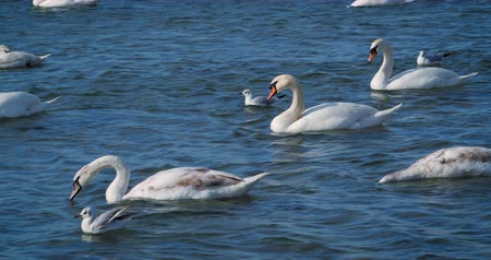 cisne : Beautiful white swans swim in the sea. Vídeos