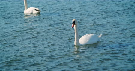 swans swimming : Beautiful white swans swim in the sea. Stock Footage
