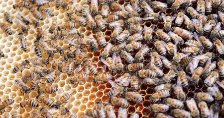 улей : Work bees in hive. Bees convert nectar into honey and cover it in honeycombs. Стоковые видеозаписи
