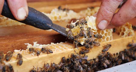 улей : Frames of a bee hive. Beekeeper harvesting honey. Beekeeper Inspecting Bee Hive. Стоковые видеозаписи