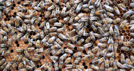 медовый : Work bees in hive. Bees convert nectar into honey and cover it in honeycombs. Стоковые видеозаписи