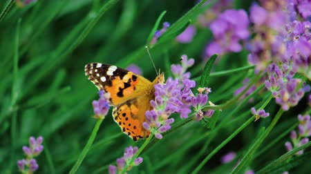 monarca : Beautiful butterfly on a flower. Summer field. Slow motion shot. Stock Footage