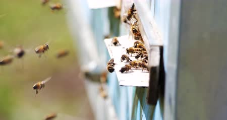 grzebień : Slow motion of Honey Bee flying around Beehive with blurred background. Beekeeping.