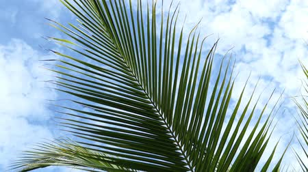 coconut palm green tree leaves quiver in the wind and blue sky background . Video Vídeos