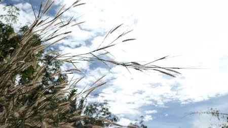 Video Summer day the grass in the field on the wind and blue sky background . Vídeos
