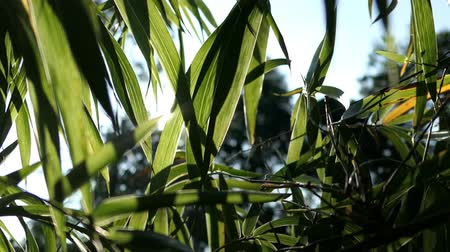 Green bamboo leaves in the garden at morning and sunlight. Video