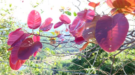 Red leaf in the garden at morning and sunlight. Video