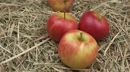 hay harvest : Ripe red apples on the hay. Rotation Organic food. Still life in a rustic style. Vintage close up view. Stock Footage