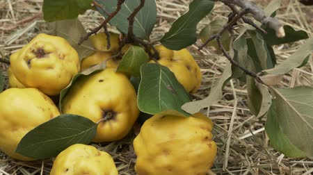 pigwa : Harvest quinces close up view. Quince branch and fruits on the hay. Rotation