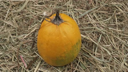 цуккини : Autumn pumpkin fruit in the hay.