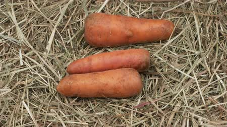 traço : Organic carrots on the hay. Rotation Harvest root crops.