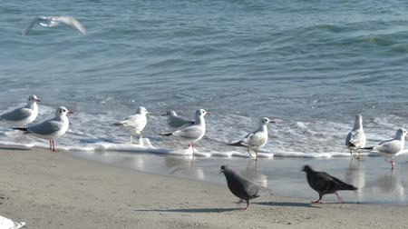black sea fauna : Seagulls and pigeons on the Black Sea. Sunny winter day.