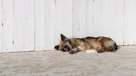 respiração : A dog sleeps in the sun near a white wooden fence. Warm day. Stock Footage