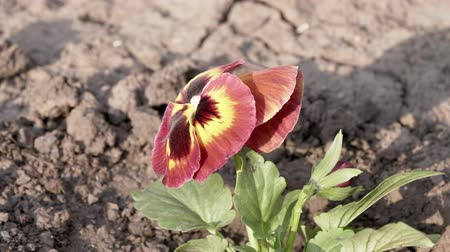 maceška : A pansy flower grows on a flower bed. Viola in the garden. The violet is three-colored. Violet Wittrock. Dry land. Sunny day.