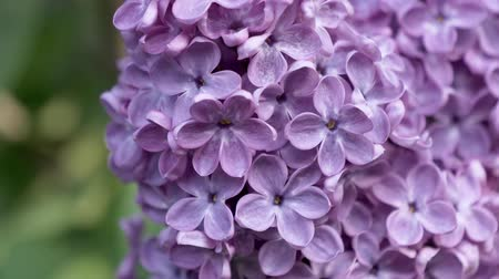 sways : Lilac flowering close up view. A lot of lilac flowers. The four-lilac lilac. Stock Footage