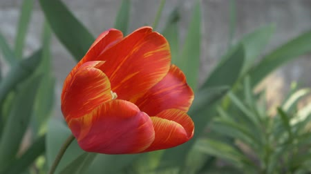 sways : Red-yellow tulip in the garden sways in the wind. Spring flowering bulb. Stock Footage
