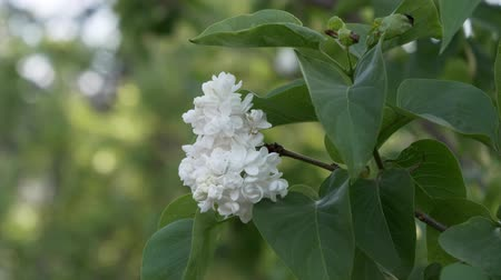 sways : White lilac blossom in spring. Many white terry flowers. Lilac tinted.