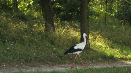 роды : White stork looking for food in high grass meadow.