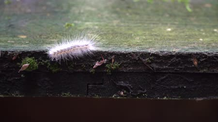monarca : Caterpillar crawling on wooden plank, escape from the wildness. Stock Footage