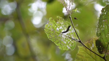 chrysalis : Ð¡aterpillar is hiding and eating leaves, crawling on leaf.