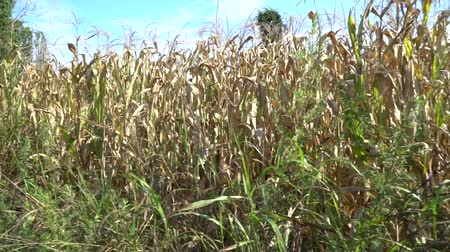 dry stalks : Corn harvested field in wind. View from side window of car - hand-held camera