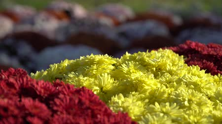 chrysanthemum : Close-up flowers Blooming. Group of vibrant colorful flowers blooming in fall