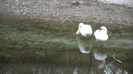 swans swimming : Sawn couple with white plumage on river, water reflection