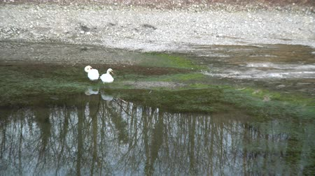 swans swimming : swan couple with white plumage on river, water reflection