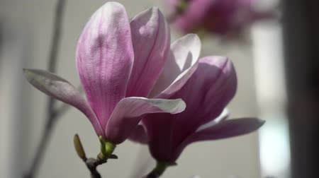 krzew : Magnolia bud, pink blossom tree flowers, close up branch, outdoor. Wideo