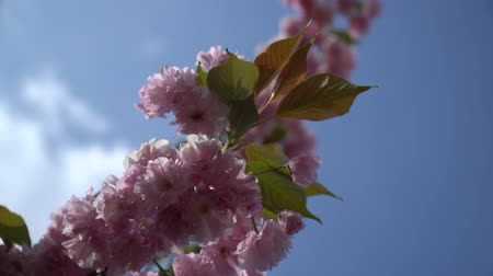 floweret : Sakura tree in spring, Cherry blossom, Sacura cherry-tree. Sacura flowers on blue sky