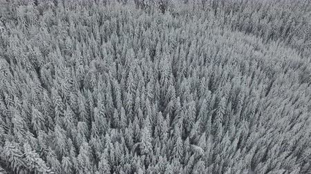 крытый : Aerial landscape in a cold winter day with high snowy pines swaying in the wind. Стоковые видеозаписи