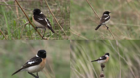 male animal : Male stonechat sitting on a branch