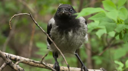 corvo : Fledgling crow, who recently left the nest