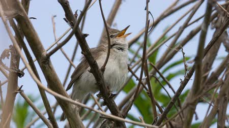 krzak : The nightingale (Luscinia megarhynchos) sings in a bush Wideo