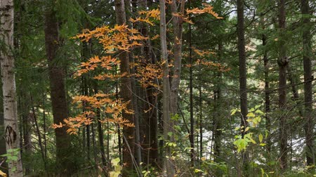 rowanberry : Panorama of the autumn forest