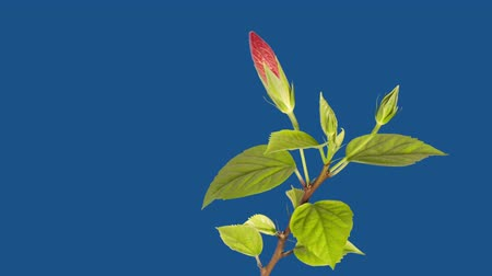 Роуз : Red hibiscus blossoms on a blue background - timelapse